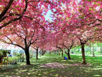 Botanical Gardens i New York - Körsbärsblomning